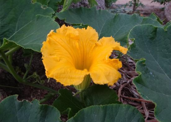かぼちゃの花1