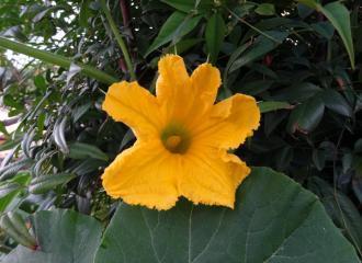 かぼちゃの花2