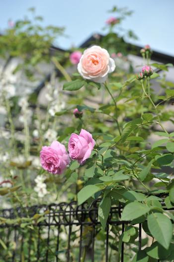 roses20180622-1.jpg