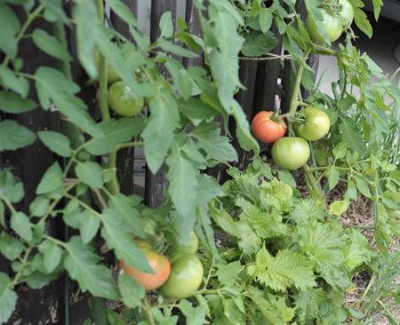 tomato20180624-3.jpg
