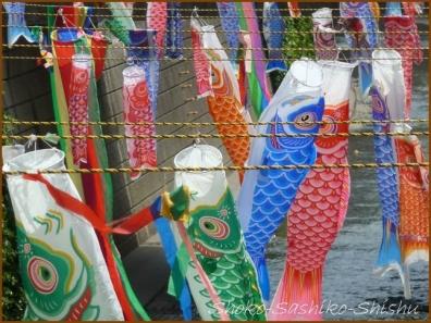 20180505  鯉  1   神田川の鯉