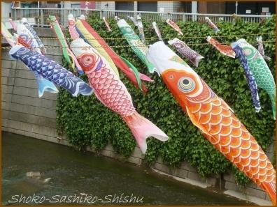 20180505  鯉  4   神田川の鯉