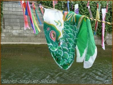 20180505  鯉  9   神田川の鯉