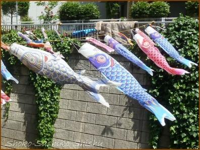 20180505  鯉  13   神田川の鯉