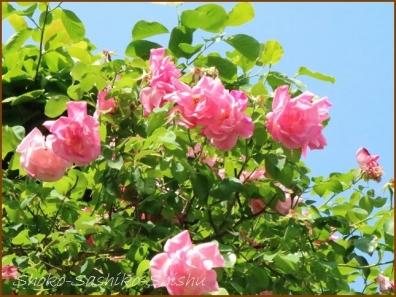 20180521  薔薇  1    5月は薔薇