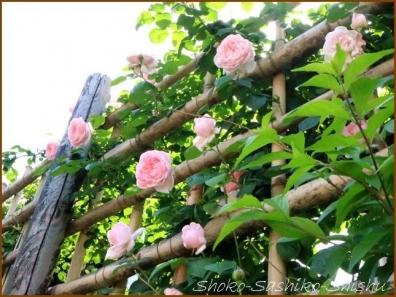 20180521  薔薇  3    5月は薔薇