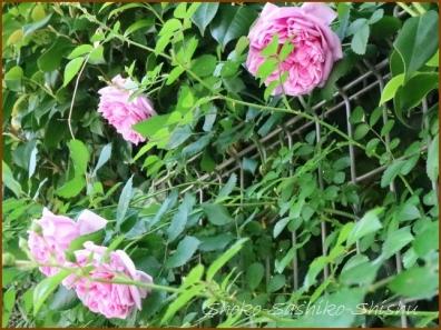 20180521  薔薇  4    5月は薔薇