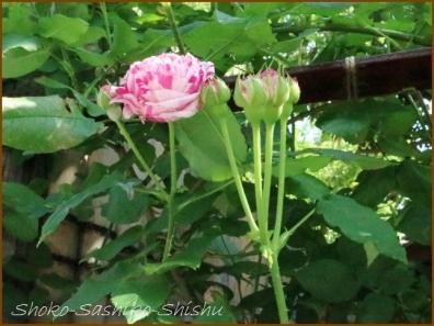 20180521  薔薇  5    5月は薔薇