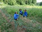 畑の雑草取り