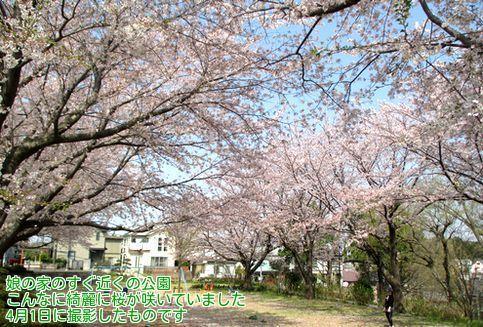 ④公園の桜