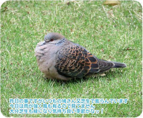④いつもの鳩さん