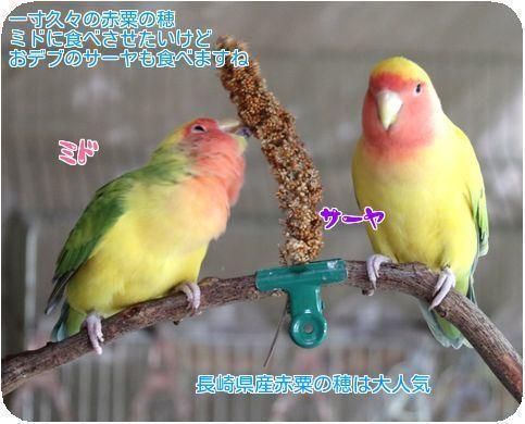 ①ミドサーヤ赤粟の穂