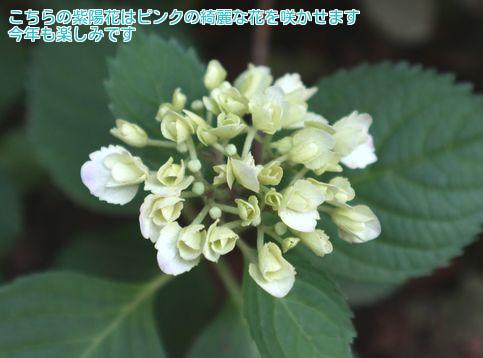 ⑥桜の下に紫陽花