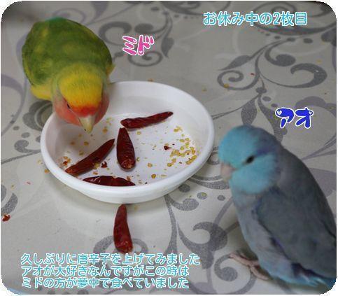 ②唐辛子を食べるミド