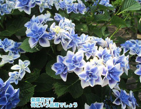 ④変わった紫陽花