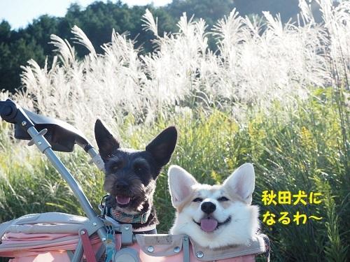 31秋田犬に