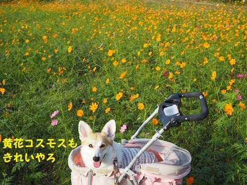 48黄花もきれい