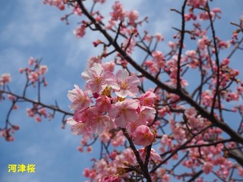 34河津桜