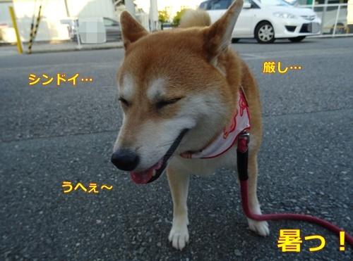 時間 柴犬 散歩