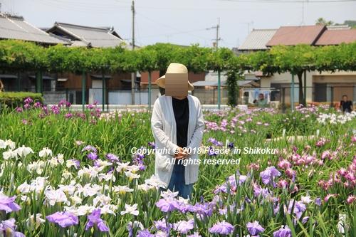 syoubu-06041442.jpg