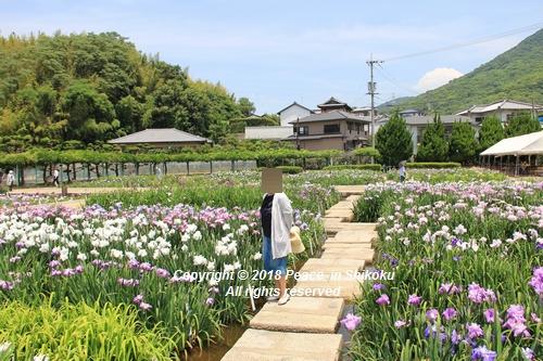 syoubu-06041483.jpg