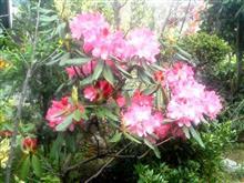 石楠花①_R