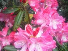 石楠花②_R