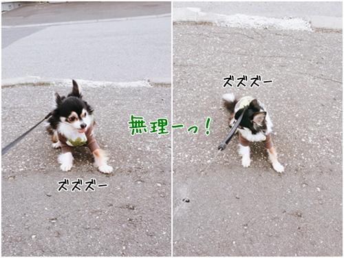 ハンスト風ちゃん