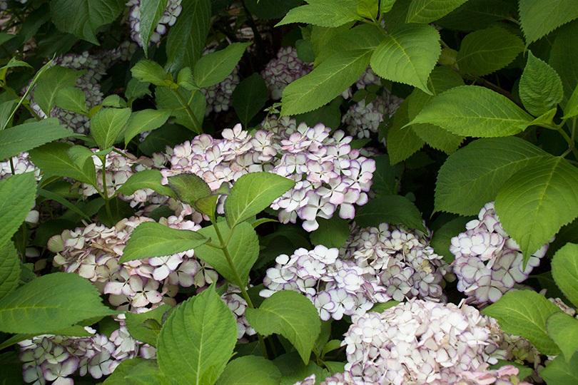 白、赤紫ふちどりIMG_2215