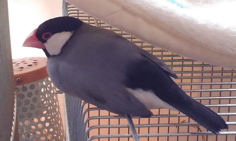 平たい文鳥2KIMG8550