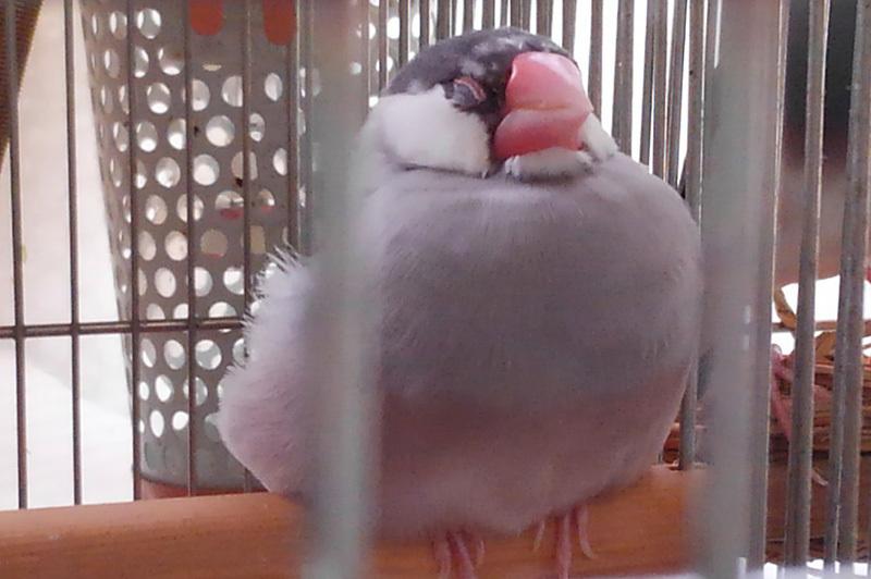 丸い文鳥3KIMG8513