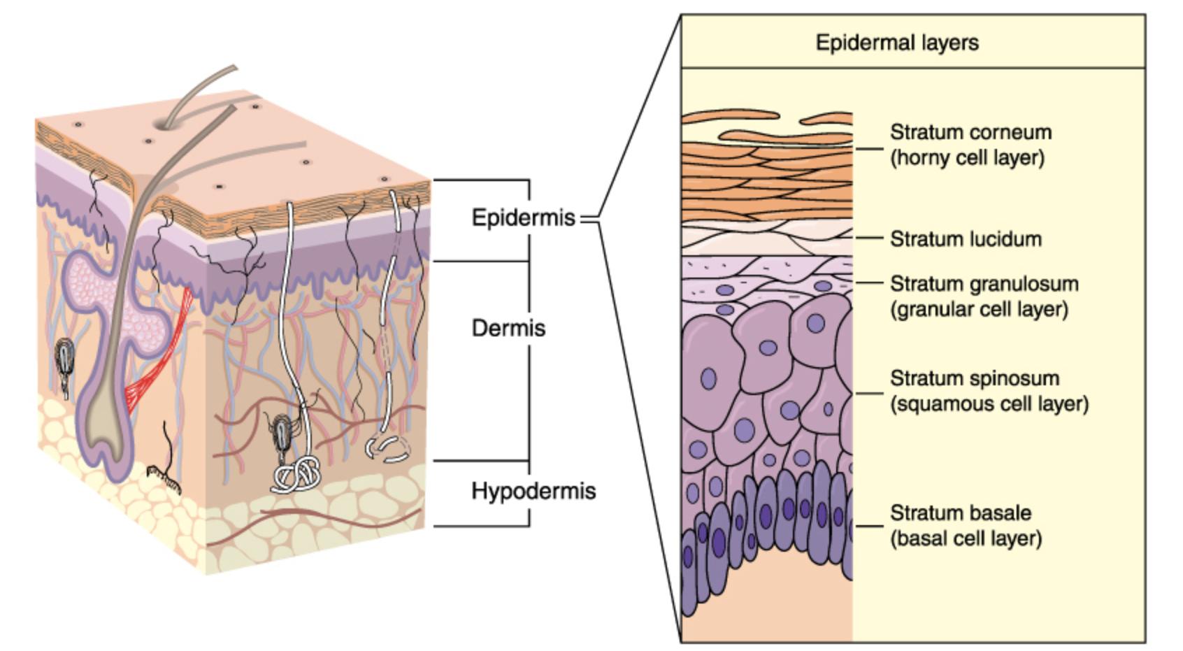 皮膚の角質層