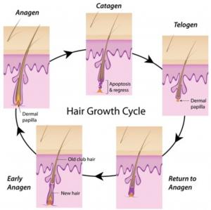 毛周期・ヘアサイクル
