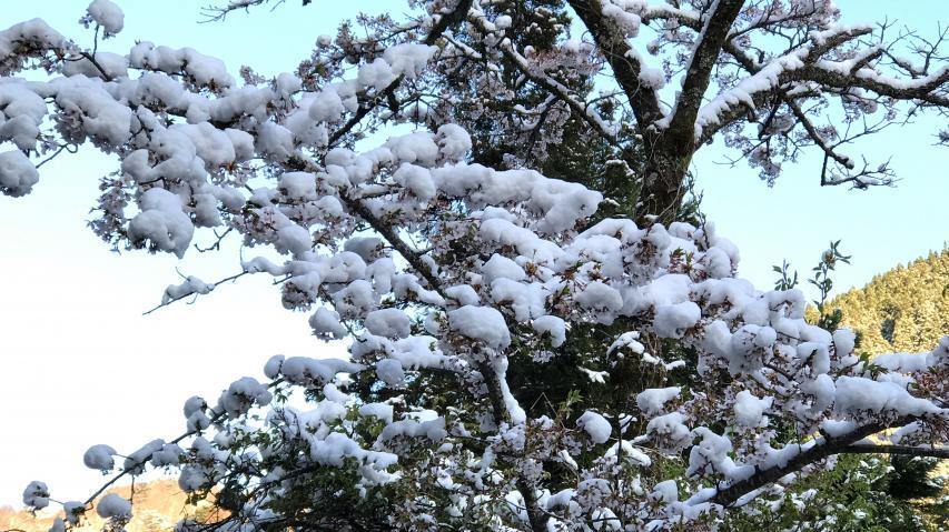 サクラの花の上に積雪どころか、葉桜の上に積雪