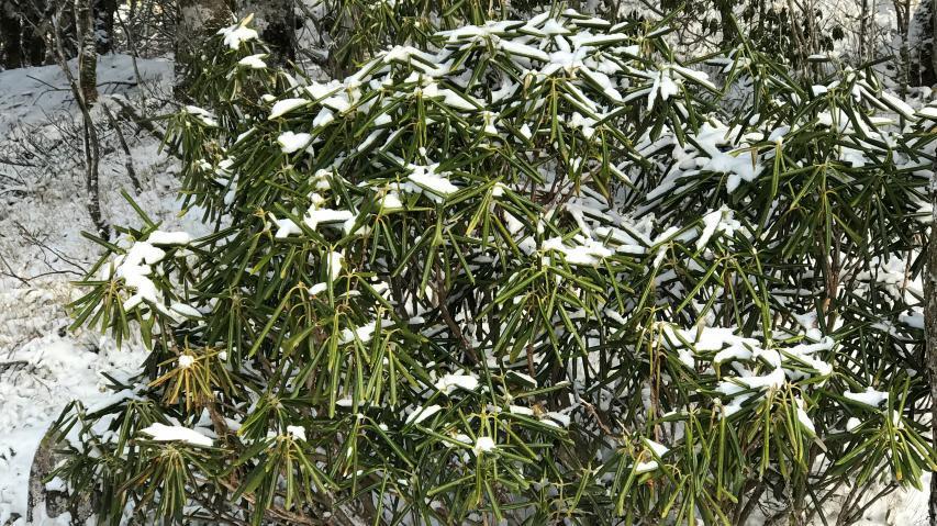 ラ・フォーレつるぎさんの植栽シャクナゲ