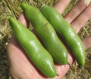 空豆初収穫 (2)