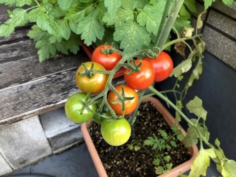 ミニトマト収穫前
