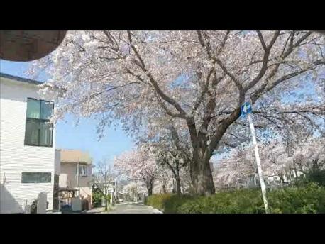 sakura_namiki201803.jpg