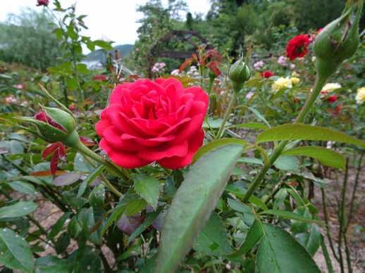 20180731 夏の薔薇②