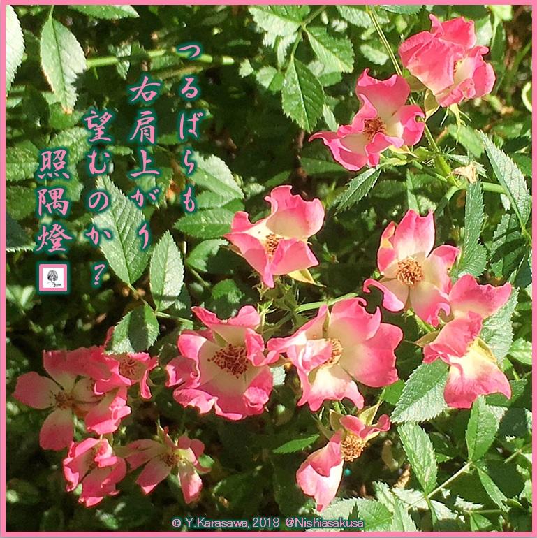 180611一重薄紅蔓薔薇LRG