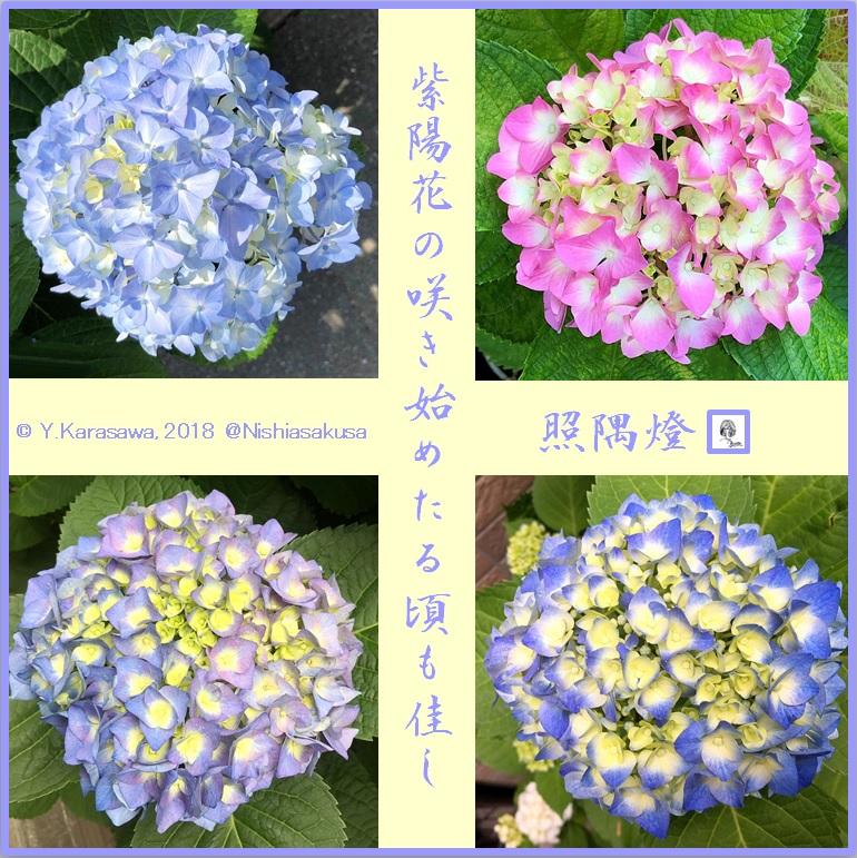 180614紫陽花開花初期LRG