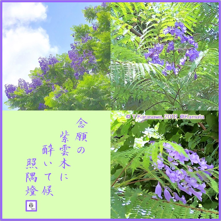 180615ジャカランダ(紫雲木)LRG