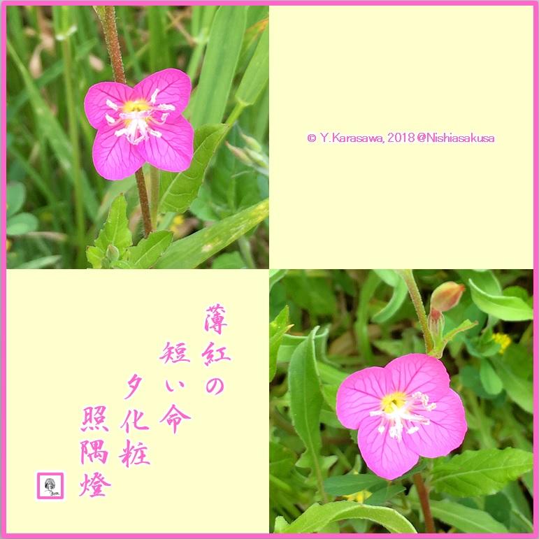 180624赤花夕化粧LRG