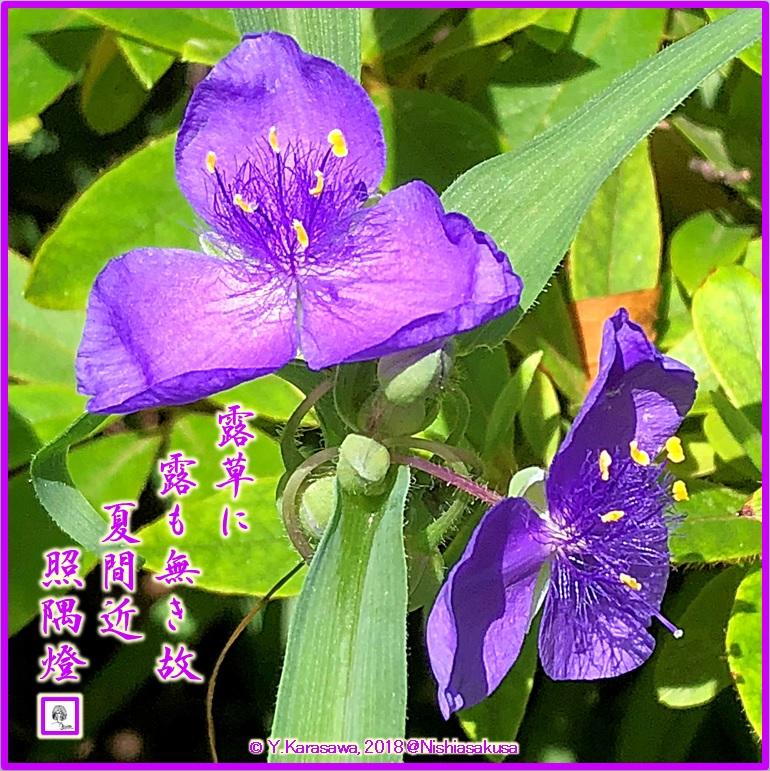 180626大紫露草LRG
