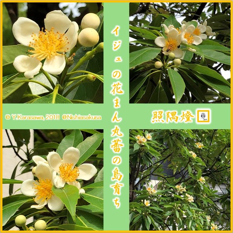 180701イジュの花LRG