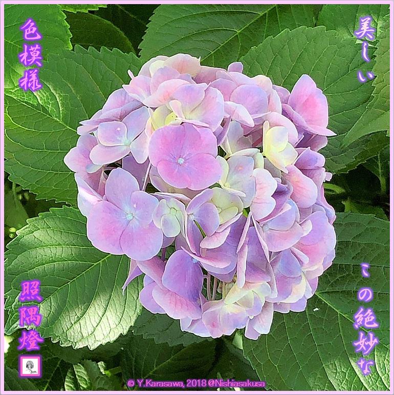 180704紫陽花の色模様LRG