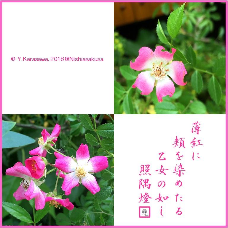 180705薄紅蔓薔薇LRG