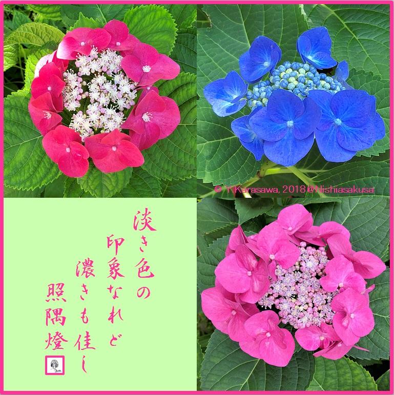 180713萼紫陽花3種LRG