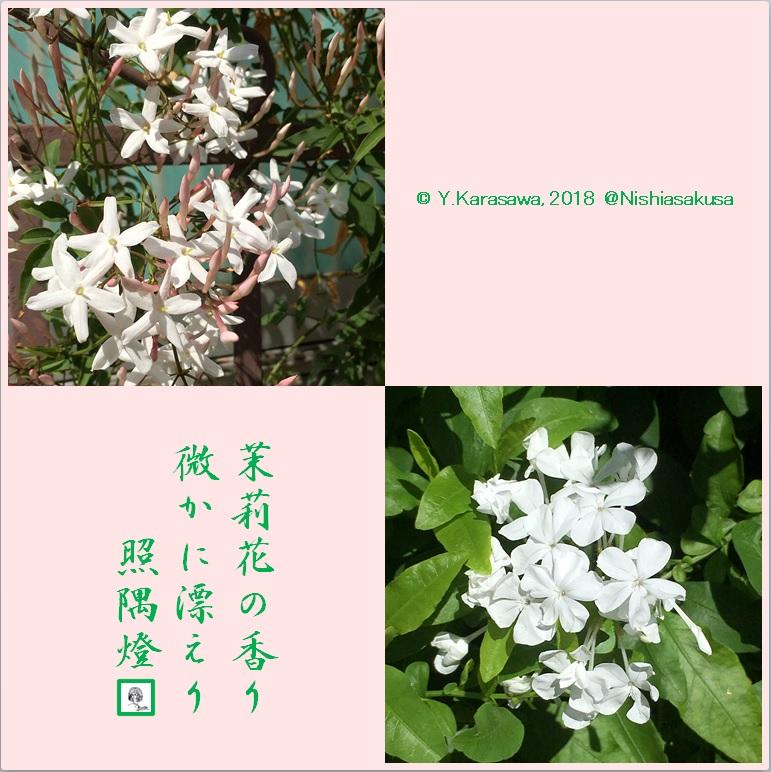 180716茉莉花2種