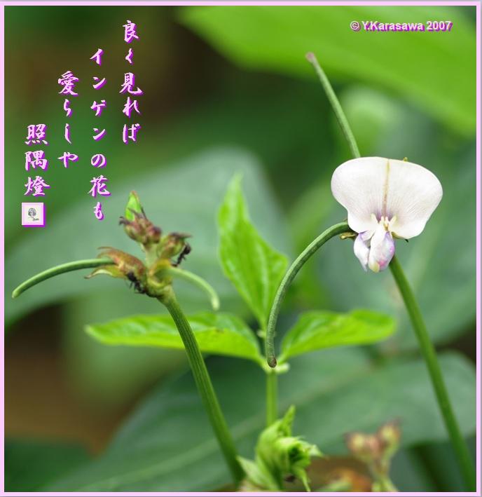070718インゲンの花LRG